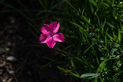 Flower, Pink, Pink Flower, Carnation, Small Carnation