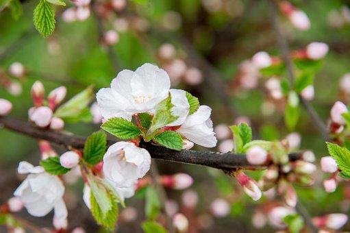 Spring, Cherry, Flowers, Petals, Cherry Blossoms