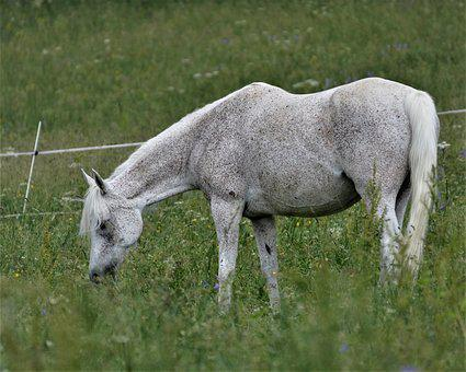 Main And State Stud Marbach, Thoroughbred Arabian, Foal