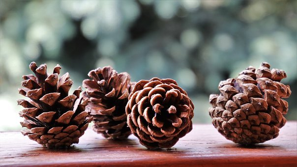 Cones, Forest, Nature, Macro, Closeup, Forest Life