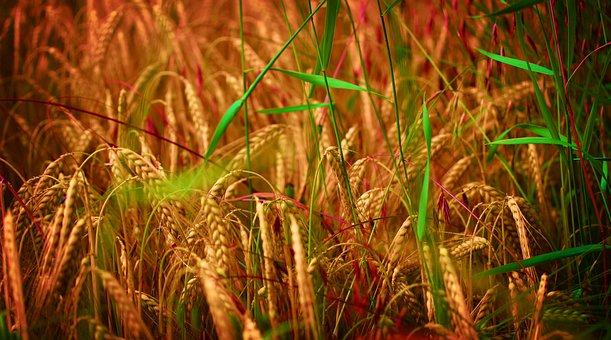 Field, Wheat, Cereals, Green, Yellow, Grain, Plant
