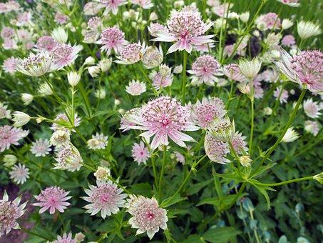 Flower, Astrantia Major, Great Masterwort, Delicate