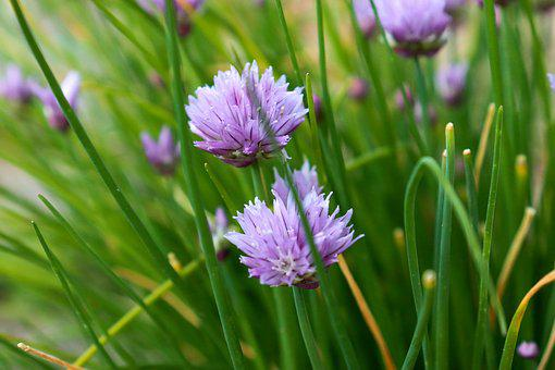 Chive, Green, Flower, Herb, Violet, Purple
