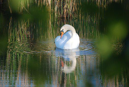 Swan, Swan's Nest, Breed, Swan Eggs, Swan Pair, Hatch