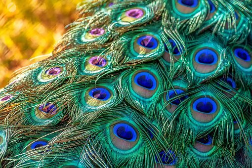 Nature, Animal, Peacock, Peacock Feathers, Iridescent