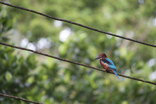 Kingfisher, Bird, Nature, Tropical Bird, Animal