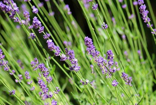 Lavender, Ornamental Plant, Purple Flowers