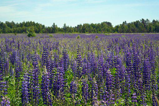 Field, Flowers, Lupine, Nature, Summer, Meadow Flowers