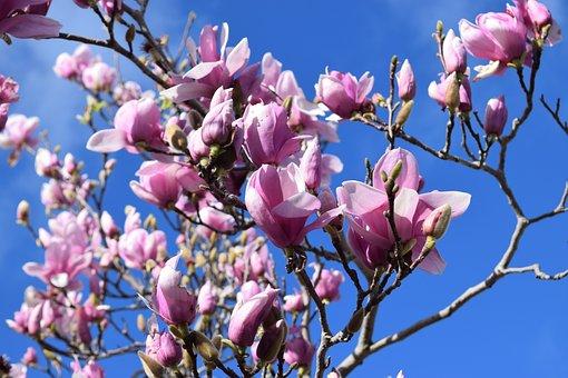 Magnolia, Flower, Spring, Blossom, Bloom, Nature, Petal