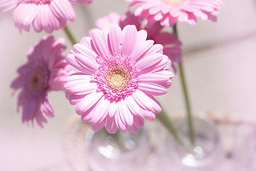 Marguerite, Pink, Flower, Blossom, Bloom, Close