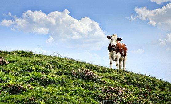 Cow, Pasture, Alm, Mountains, Mountain, Meadow, Milk