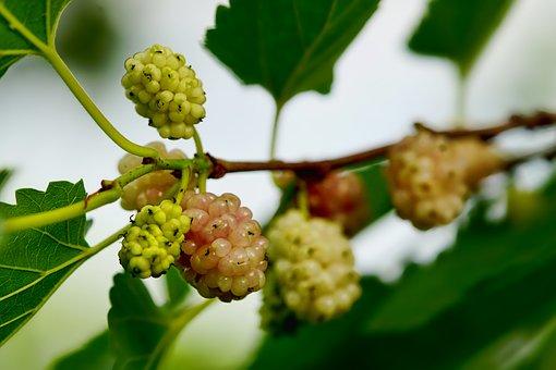 Nature, Fruits, Fruit, Berries, Mulberries