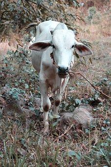 Cow, Animals, White, Nature, Farm, Mammal, Domestic