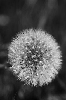 Dandelion, Macro, Nature, Flower