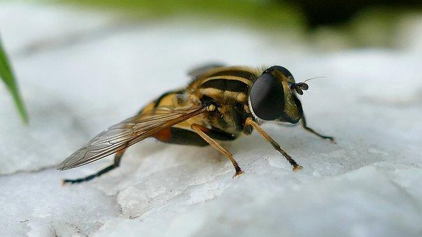 Insect, Hover Wasp, Close, Macro, Nature