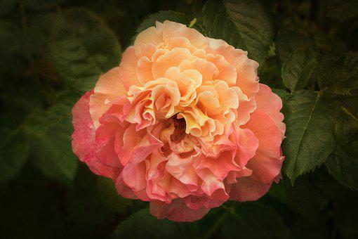 Nature, Roses, Rosaceae, Rose Family, My Garden Roses