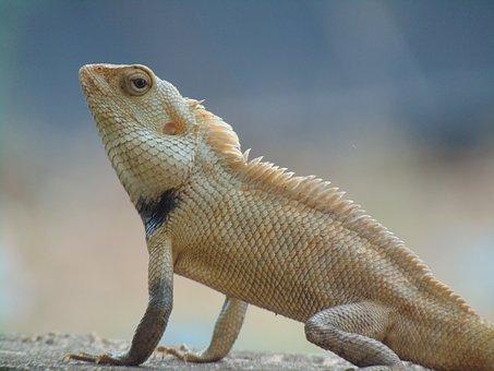 Indian Garden Lizard, Green, Nature, Natural, Garden