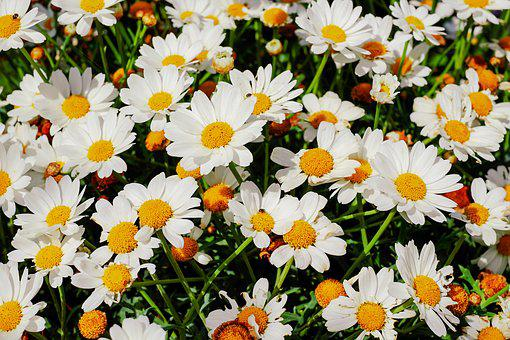 Daisies, Bloom, Nature, Garden, Flowers, White, Plant