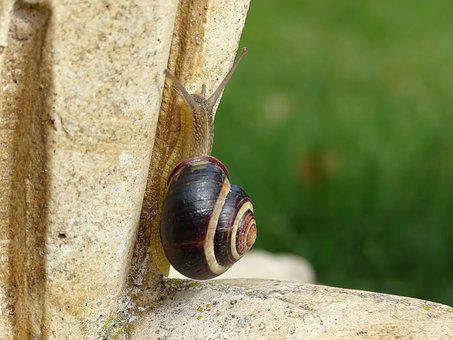 Snail, Shell, Slowly, Slimy, Bauchfuessler, Nature