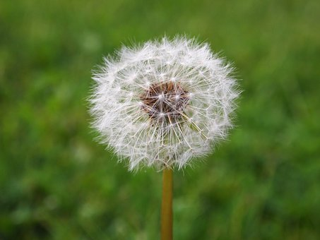 Flower, Seed, Dandelion, Plant, Nature, White