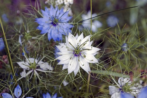 Flower, Nigella Damascena, Love-in-a-mist, Nigella
