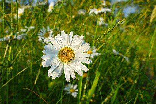 Ox-eye Daisy, Daisy, Flower, Plant, Blooming
