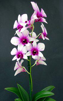 Orchid, Flower, Blossom, Bloom, Plant, Nature, Pink