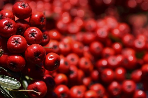 Real, Fruit, Red, Small, Lot, One, Natural, Plant