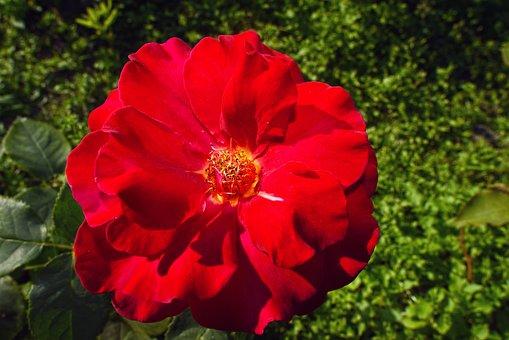 Rose, Red Rose, Flower, Plant, Rosa, Rosaceae, Cultivar