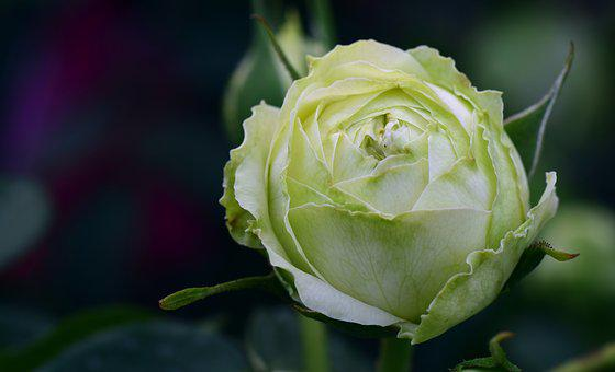 Rose, Old, Old Variety, Old Rose Variety, White