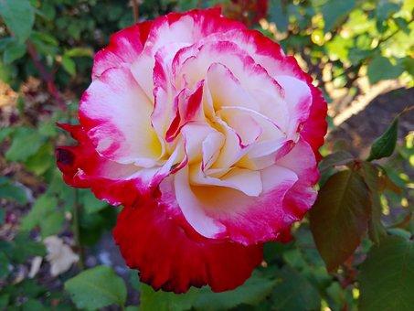 Ornamental Trees, Natural, Roses