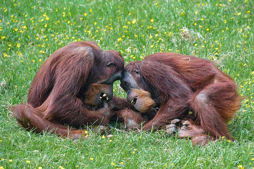 Orangutan, Monkey, Roux, Two, Play, Primate, Pongo
