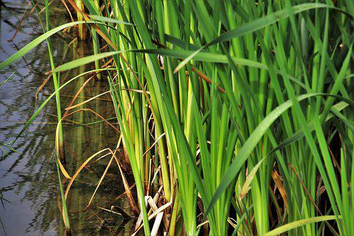 Rushes, Grass, Green, Vegetation, At The Court Of, Pond