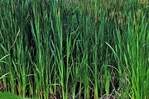 Grass, Rushes, Nature, Pond, Vegetation