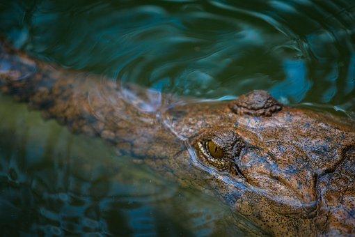 Saltwater Crocodile, Australian, Crocodile, Wildlife
