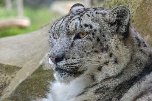 Snow Leopard, Feline, Tawny, Head, Predator, Carnivore