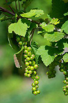 Currants, Immature, Green, Green Currants, Spring
