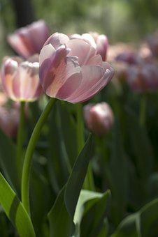 Tulip, Light, Pink, Flower, Plant, Spring, Sunshine