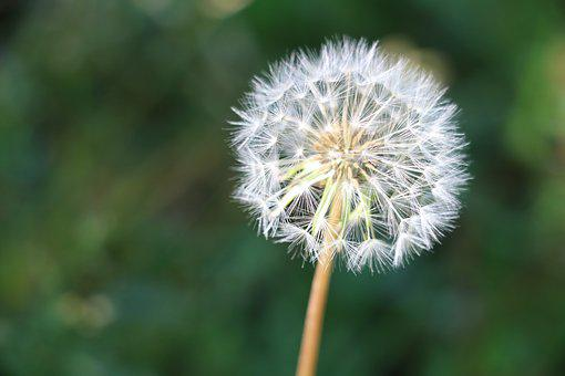Dandelion, Seeds, Stem, Nature, Flower, Plant, White