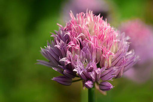 Chives, Chives Blossom, Close, Pink, Viola, Tender