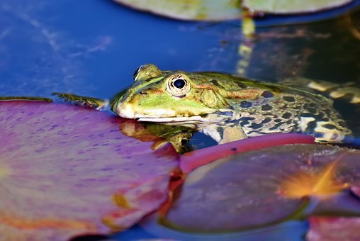 Frog, Toad, Water Creature, Pond, Amphibian, Eyes
