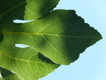 Leaf, Backlight, Translucent, Fig Tree, Ramifications