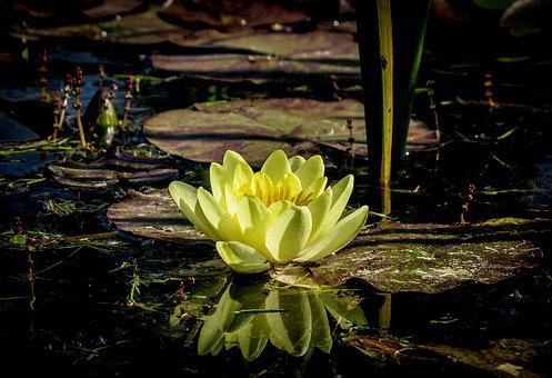 Water Lily, Lake, Pond, Flower, Water, Nuphar, Nature