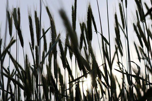 Grain, Wheat, Cereals, Back Light, Field, Agriculture