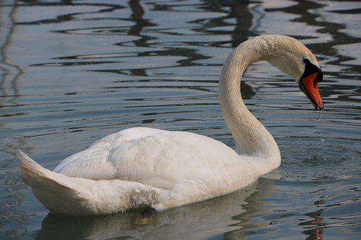 Swan, Bird, Just Add Water, Lake, White Bird
