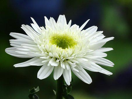 Marguerite, Flowers, Close Up, White, Bloom