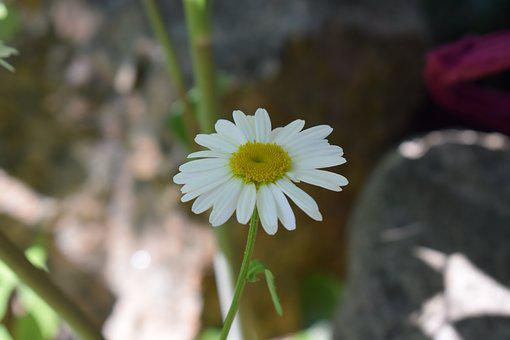 Daisy, Flower, Midsummer, Summer, White, Flowers, Bed
