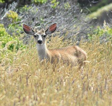 Deer, Wildlife, Animal, Mammal, Buck, Outdoor, Wild