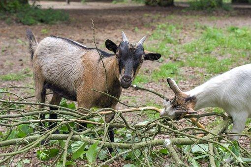 Goat, Play, Branch, Animal