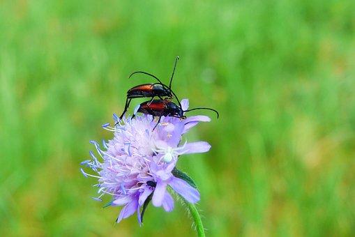 Strangalia Czarniawa, Copulation, The Beetles, Animals
